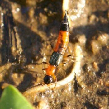 Paederus riparius (Bunter Uferkurzflügler)