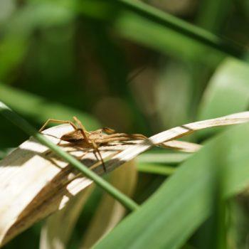 Pisaura mirabilis (Listspinne)