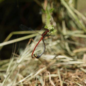 Pyrrhosoma nymphula (Frühe Adonislibelle)