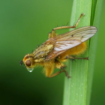 Scathophaga stercoraria (Gelbe Dungfliege)