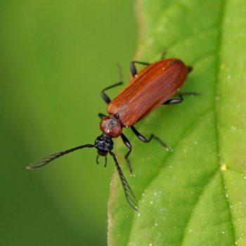 Schizotus pectinicornis (Orangefarbener Feuerkäfer)