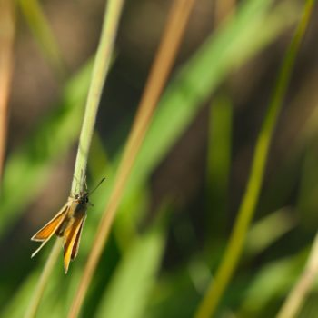 Thymelicus sylvestris (Braunkolbiger Braun-Dickkopffalter)