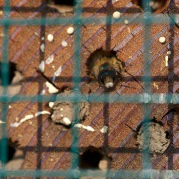 Osmia bicornis (Rostrote Mauerbiene)
