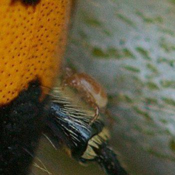 Poecilochirus carabi (Schmarotzermilbe)