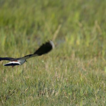 Vanellus vanellus (Kiebitz)