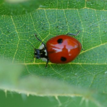 Adalia bipunctata (Zweipunkt-Marienkäfer)