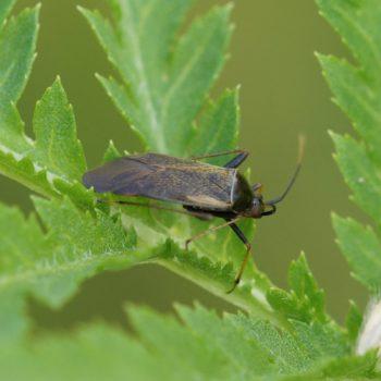 Adelphocoris seticornis (Gelbsaum-Zierwanze)