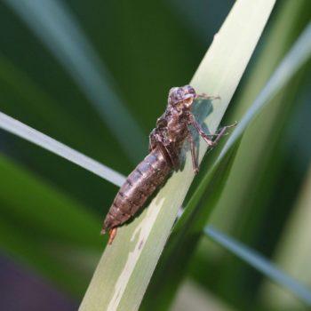 Aeshnidae sp. (Edellibelle)