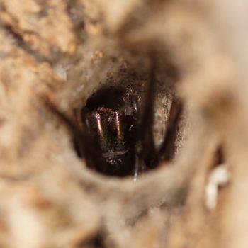 Agelenidae sp. (Trichternetzspinne)