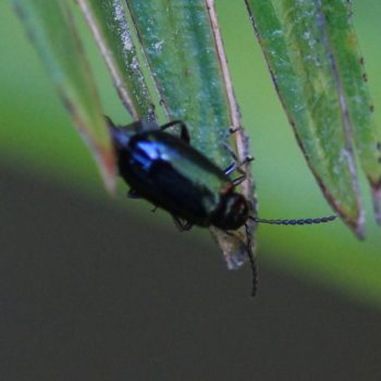 Altica sp. (Flohkäfer) - Thailand
