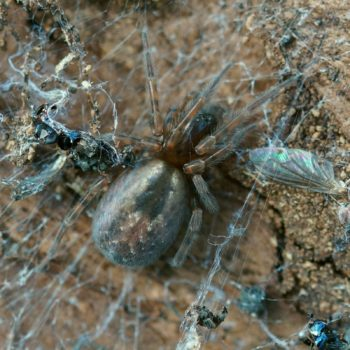 Amaurobius fenestralis/similis (Finsterspinne)