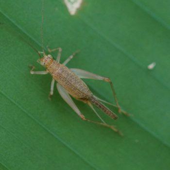 Aphonoides sp. (Echte Grille) - Thailand