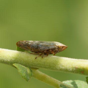 Aphrophora salicina (Braune Weiden-Schaumzikade)