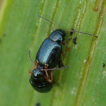 Aphthona nonstriata (Iriserdfloh)