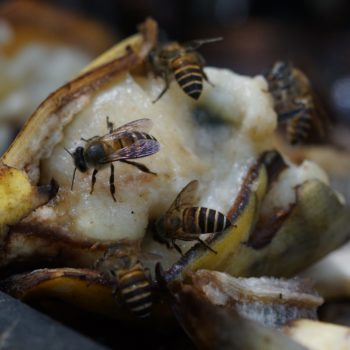 Apis cerana (Asiatische Honigbiene)