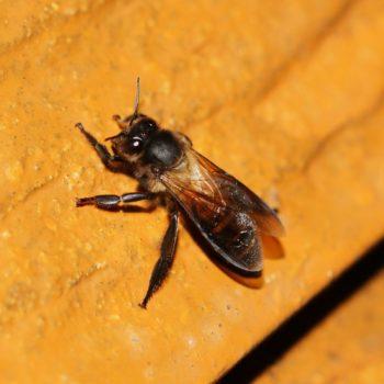 Apis dorsata (Riesenhonigbiene)
