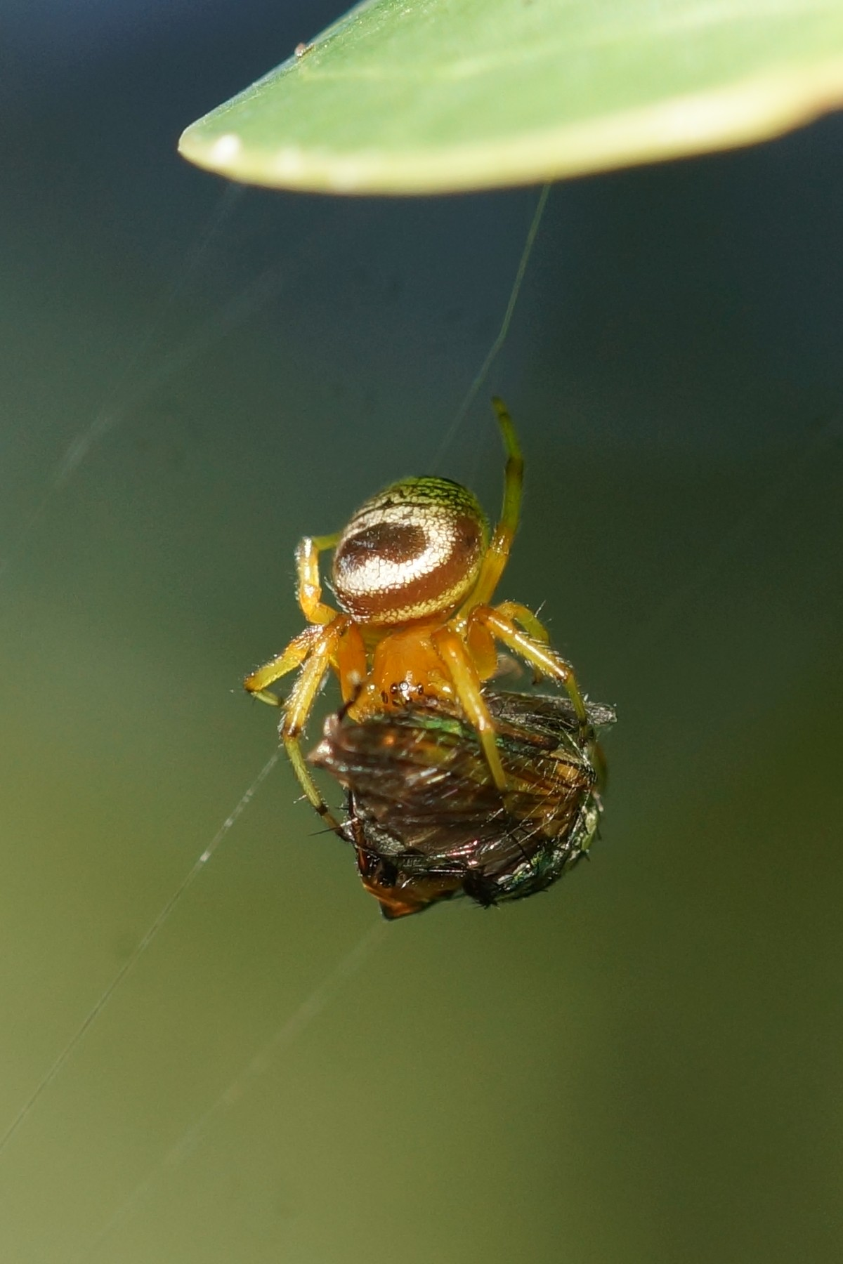 <i>Araneus mitificus</i> (Kidney Garden Spider)