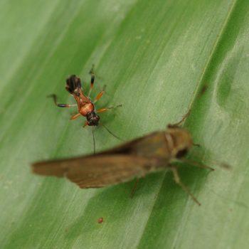 Artemidorus pressus (Seed Bug)