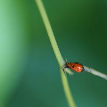 Aulacophora sp. (Blattkäfer)