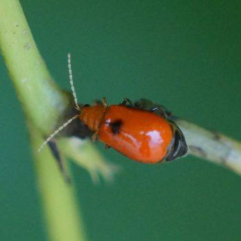 Aulacophora sp. (Blattkäfer) - Thailand
