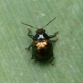 Basilepta fulvipes (Blattkäfer)