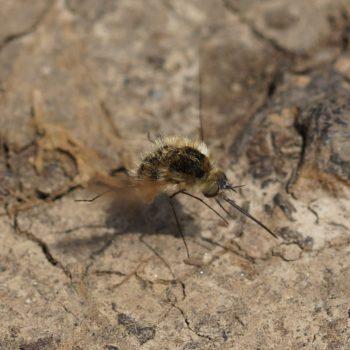 Bombylius sp. (Wollschweber)