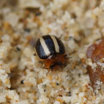 Brumoides sp. (Marienkäfer)