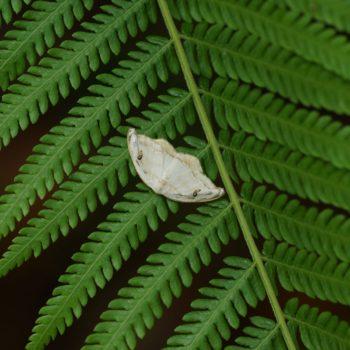 Callidrepana gelidata (Sichelflügler)