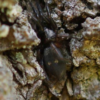Callilepis nocturna (Ameisenfressende Plattbauchspinne)