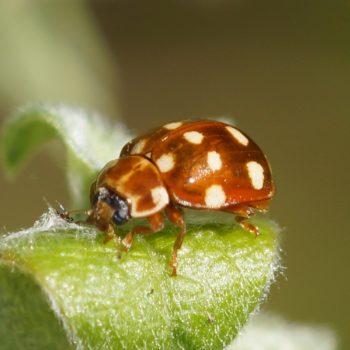 Calvia quatuordecimguttata (Vierzehntropfiger Marienkäfer)