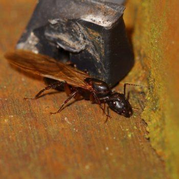 Camponotus sp. (Rossameise)