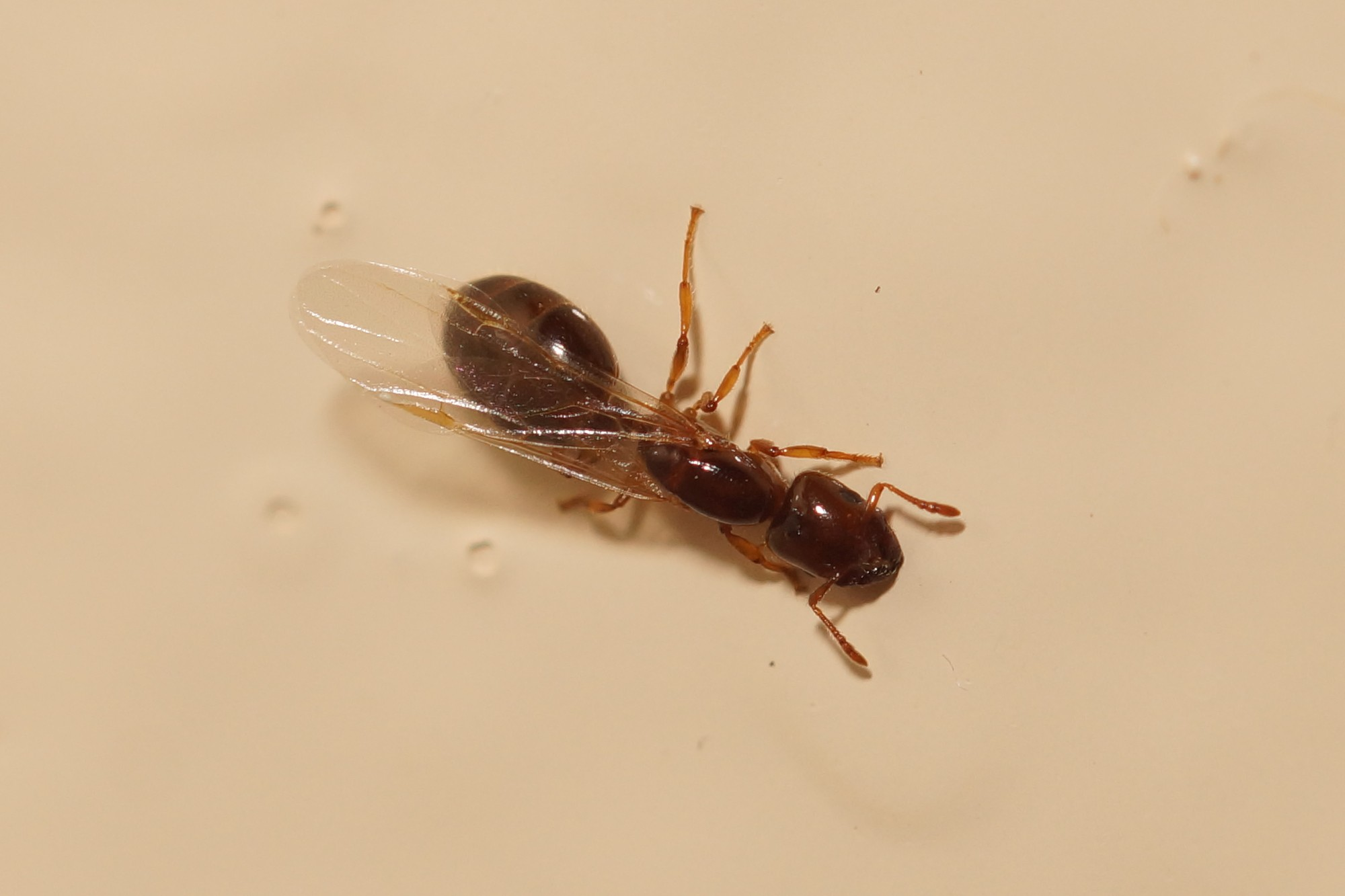 <i>Camponotus</i> sp. (Rossameise)