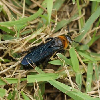 Campsomeriella collaris (Dolchwespe)