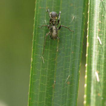 Castianeira sp. (Rindensackspinne)