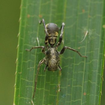 Castianeira sp. (Rindensackspinne) - Thailand