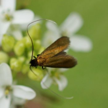 Cauchas rufimitrella (Langhornmotte)