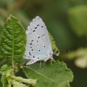 Celastrina argiolus (Faulbaumbläuling)