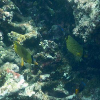 Chaetodon auripes (Japanischer Halsband-Falterfisch) - Thailand