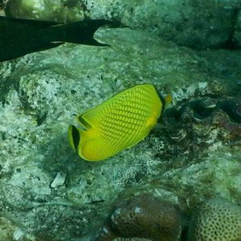 Chaetodon rafflesii (Großschuppen-Falterfisch) - Thailand