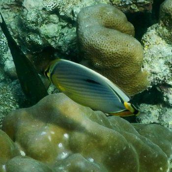 Chaetodon trifasciatus (Indischer Rippen-Falterfisch) - Thailand