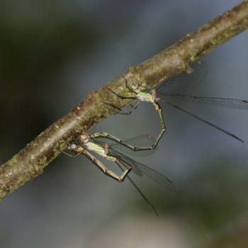Chalcolestes viridis (Weidenjungfer)