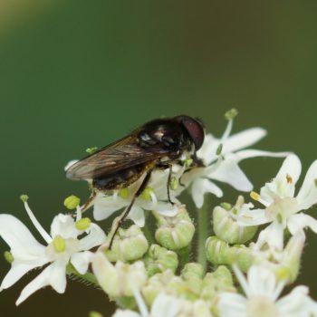 Cheilosia sp. (Schwebfliege)
