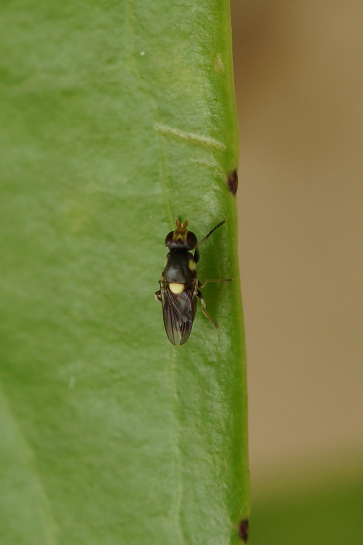 Chloropidae sp. (Halmfliege)