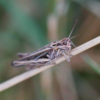 Chorthippus brunneus (Brauner Grashüpfer)