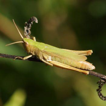 Chorthippus dorsatus (Wiesengrashüpfer)