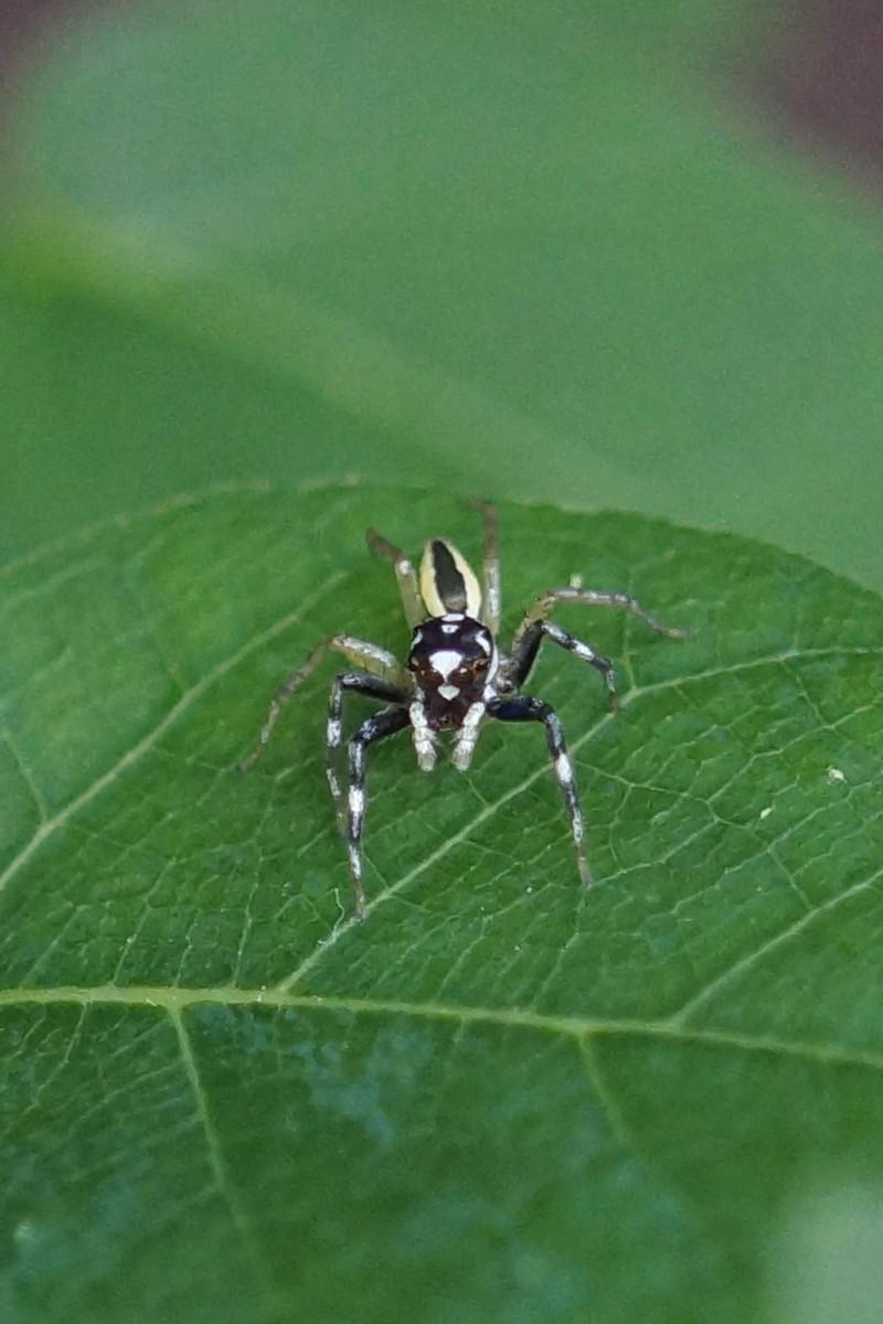 <i>Phintella versicolor</i> (Multi-colored Phintella)