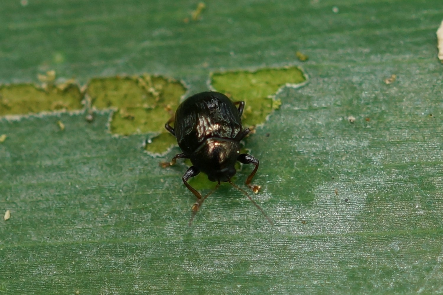 Chrysomelidae sp. (Blattkäfer)
