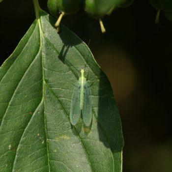 Chrysoperla carnea s.l. (Gemeine Florfliege)