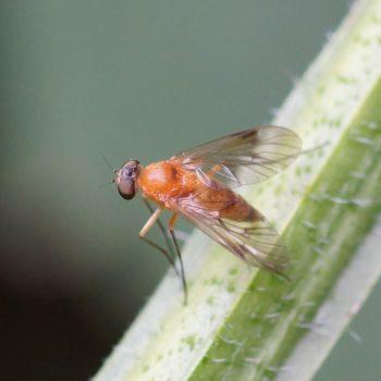 Chrysopilus laetus (Baum-Schnepfenfliege)