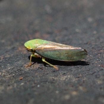 Tartessus ferrugineus (Zwergzikade) - Thailand